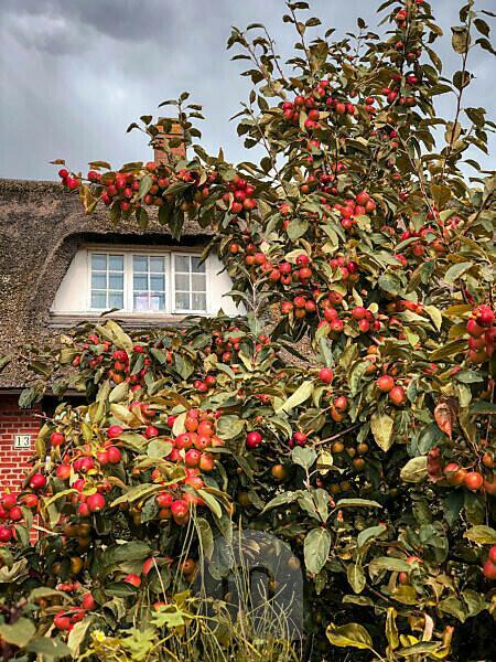 Apfelbaum, Früchte, Erntezeit, Sommer, Garten