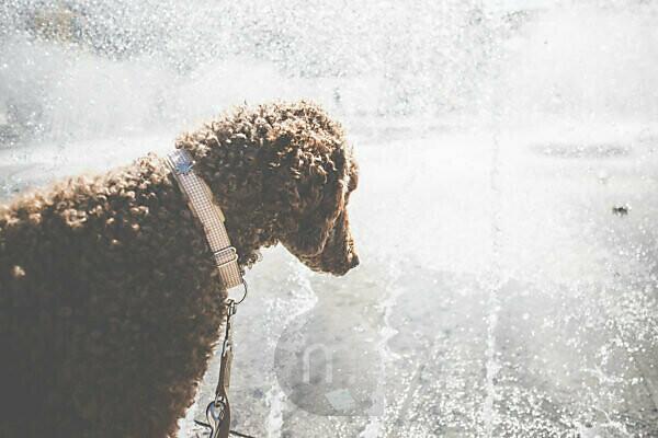Ein Hund, Pudel, beobachtet das Wasser des Springbrunnen am Stachus, Karlsplatz, München, Bayern.
