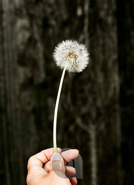Hand holds dandelion