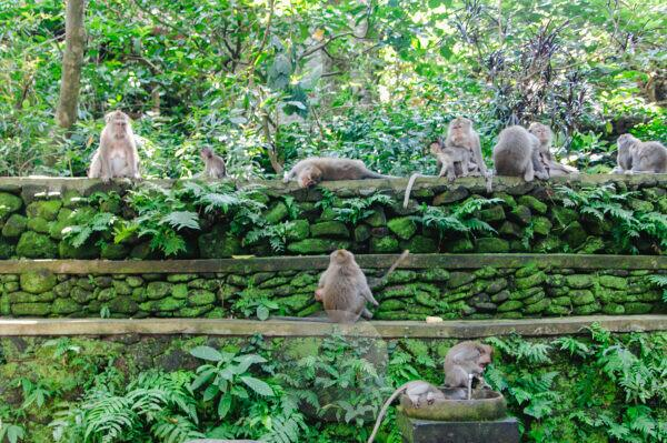 Monkeys in the monkey forest of Ubud Bali Indonesia