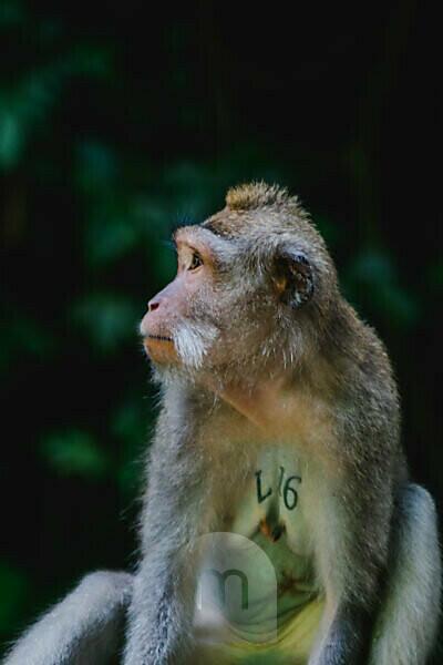 Affen im Affenwald von Ubud Bali Indonesien
