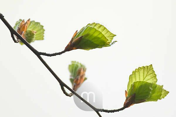 Buche, Blätter, entwickeln