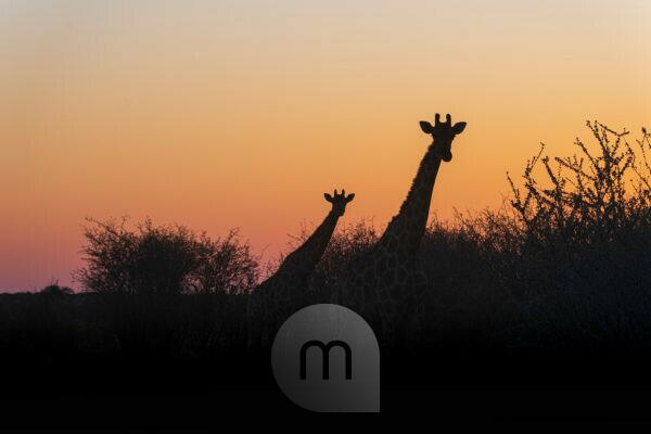 A jeep tour through Namibia, giraffes in Etosha National Park at sunrise, silhouettes