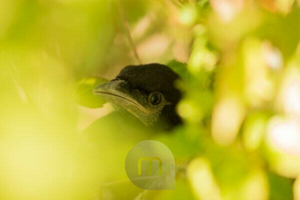 Magpie chick surrounded by shrub leaves close-up, natural outdoor setting, bokeh background