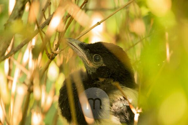 Magpie chick close-up, natural outdoor setting