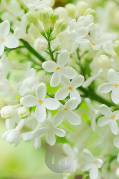 Blooming Lilac, white flowers close-up natural outdoor setting lovely green background