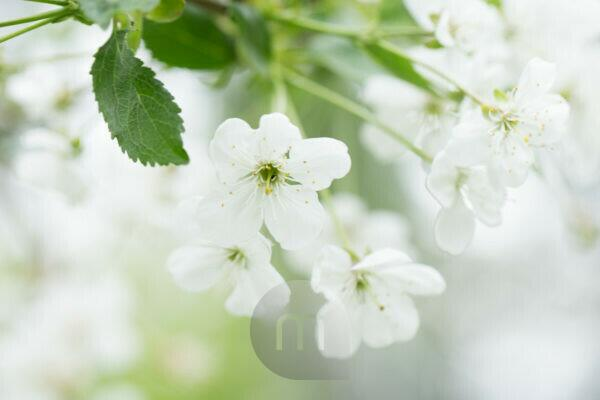 White flowering cherry blossoms, bright background with bokeh