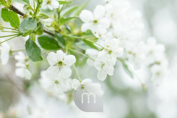 White flowering cherry blossoms, bright background with bokeh, natural outdoor setting