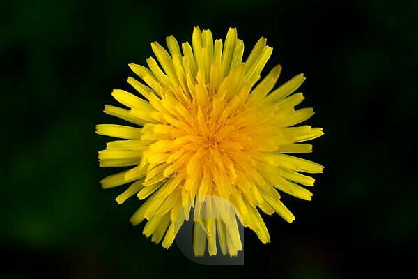 Dandelion blooms close-up on dark background