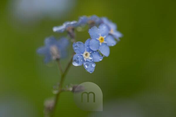 Dewdrops on Forget-me-not petals, green nature background