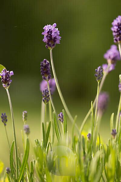 Lavender in garden, dark green background