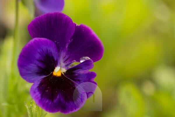 Raindrop on purple pansy petal, blurred green natural background