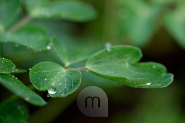 Raindrop on flower leaf, close-up, natural background
