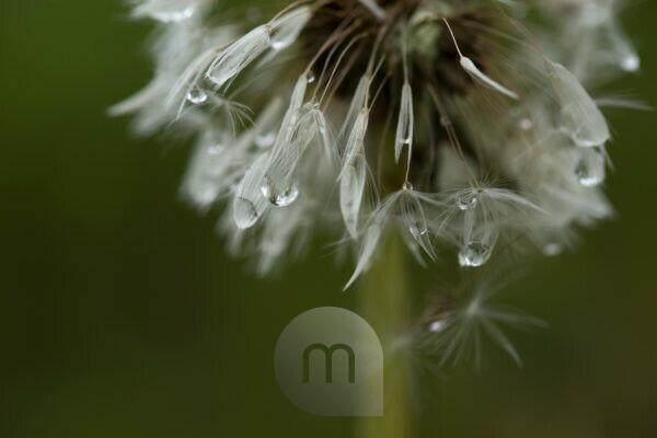 Dandelion Blowball with dewdrops, dark nature background