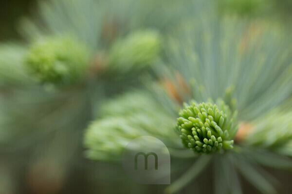 Spruce Sprout close-up, bokeh background