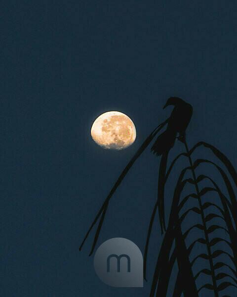 Vogel in Costa Rica auf einem Zweig schaut augenscheinlich auf den Mond im Hintergrund