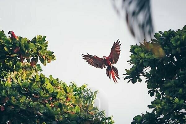 Macaws having breakfast in the morning near Corcovado National Park in Puerto Jimenez, Costa Rica