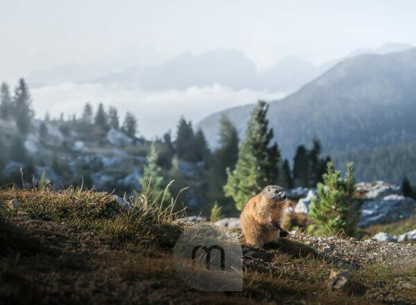 A marmot in front of mountain ranges that protrude from a sea of fog in the valley near Cinque Torri in the Dolomites, South Tyrol, Italy