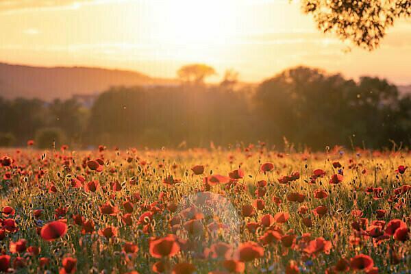 Field of poppies near Jena at sunset.