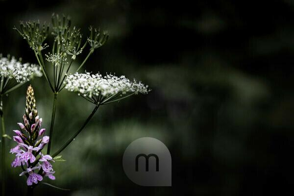 Achillea, Yarrow, Wild, Plant, White, Abstract Composition of the Wild Grass and Flowers, Europe, Germany, Black Forest, Schonach,