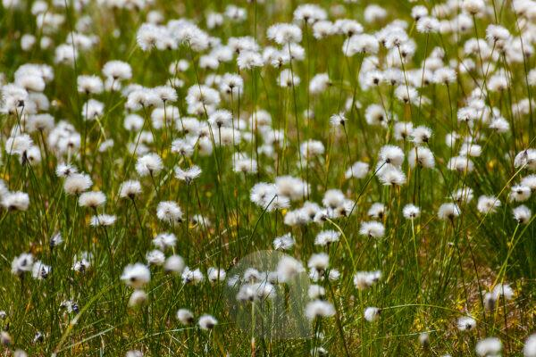 Europe, Germany, Bavaria, Bavarian Forest, National Park, blooming cotton gras field