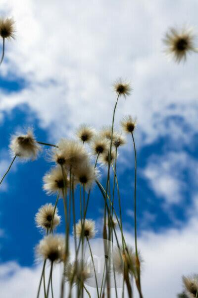 Europe, Germany, Bavaria, Bavarian Forest, National Park, low angle shot of cotton gras with sky,