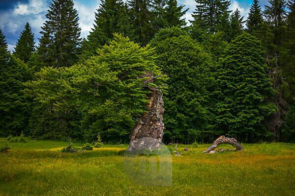 Europe, Germany, Bavaria, Bavarian Forest, National Park, Old tree