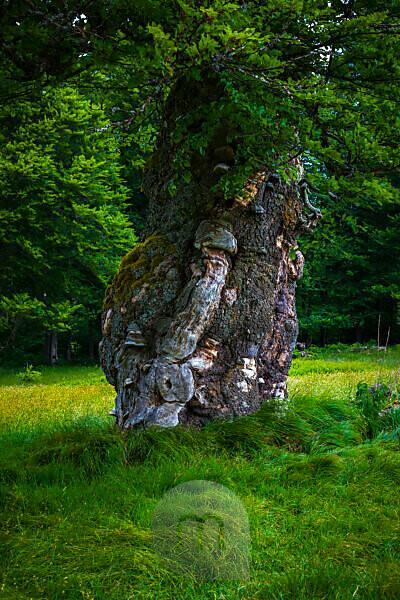Europe, Germany, Bavaria, Bavarian Forest, National Park, old tree trunk,