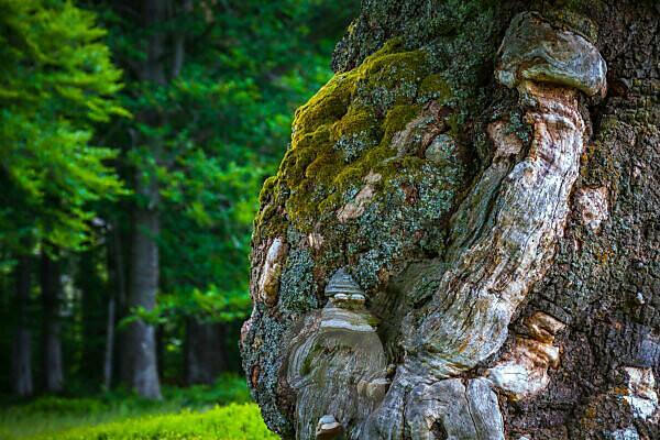 Europe, Germany, Bavaria, Bavarian Forest, National Park, Old Tree trunk