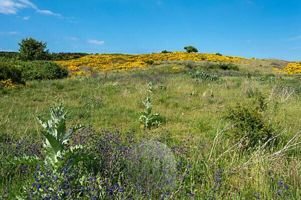 Flowering gorse bushes, Dornbusch nature reserve, Hiddensee island