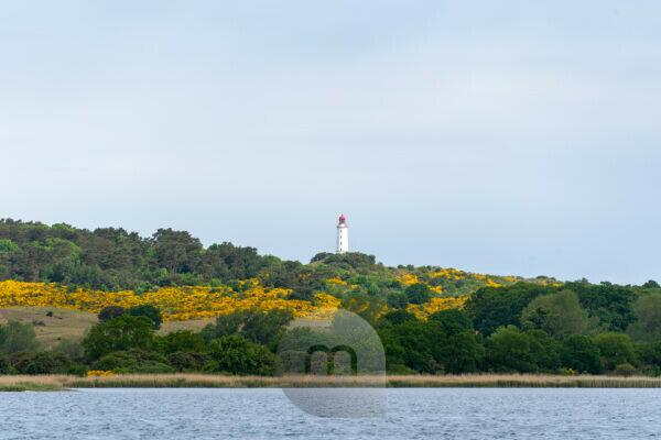 Hiddensee, lighthouse, yellow gorse