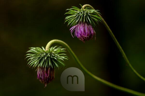 Blossom of the Alpine thistle