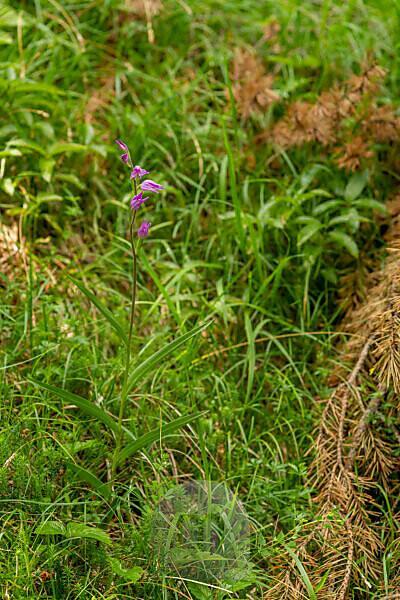 Das Rote Waldvöglein, auch Purpur-Waldvöglein genannt, eine im Karwendel und den Alpen heimische Orchidee.