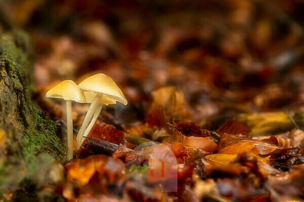 Buntstieliger Helmling (Mycena Inclinata) als Doppelbelichtung auf totem Holz im Wald