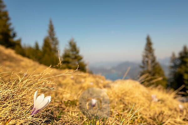 Krokusblüte in Wiese am Simetsberg im Frühling