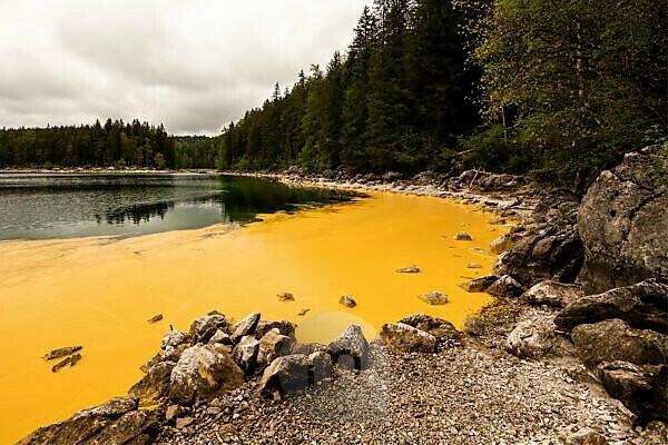 Pollen von Fichten färben das Ufer des Eibsee an der Zugspitze gelb, wie als wenn jemand Eimerweise Farbe in den schönen Natursee gekippt hätte. Einzelne Felsen stehen daraus hervor.