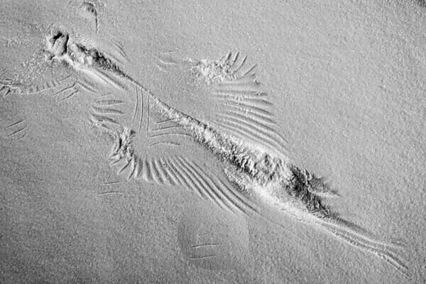 Bird trail of a landing in fresh snow