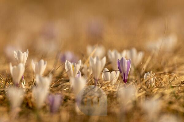 Crocuses in the warm light of spring on a meadow in the Alps