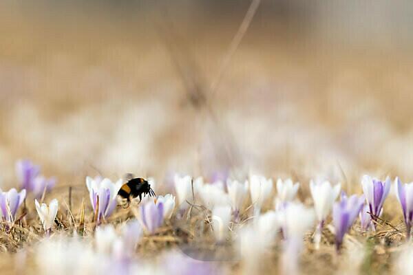 Krokusse im warmen Licht des Frühlings auf einer Wiese in den Alpen