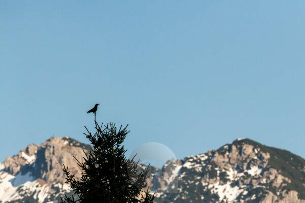 A raven keeps watch on a spruce tip, in the background the Soierngruppe of the German Alps