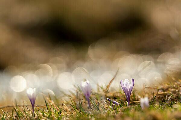 Krokusblüte im gebirge im gegenlicht der Sonne mit Reflexion