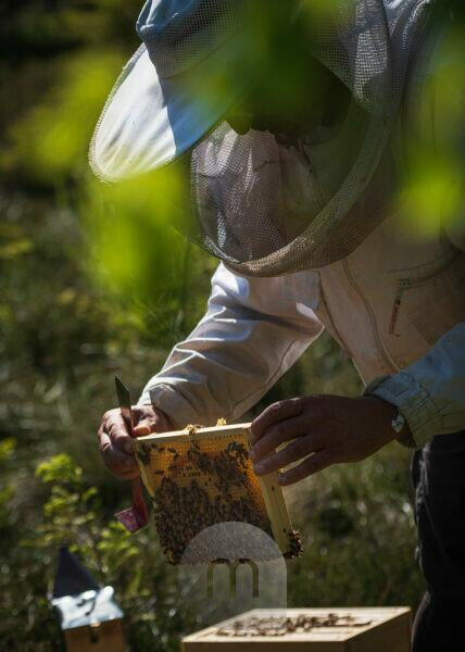 A beekeeping on the edge of the forest: everyday life of a beekeeper. The stick chisel with honeycomb lifter is one of the most needed tools in beekeeping. Beekeepers inspect the honeycomb.