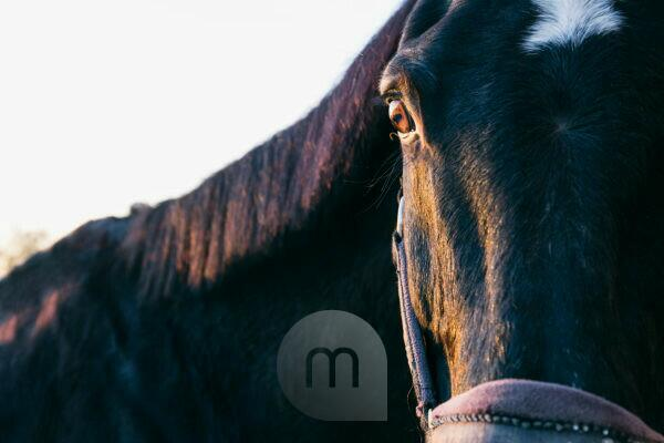 Close-up portrait of brown horse at ranch during sunset