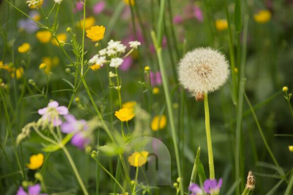 Blow Ball, Dandelion, Summer meadow