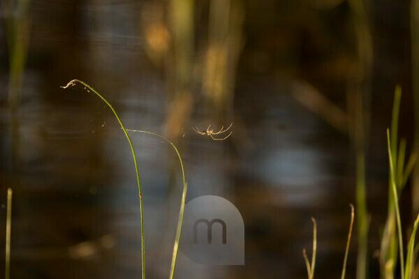 Spider hangs between the reeds by the lake shore, Finland