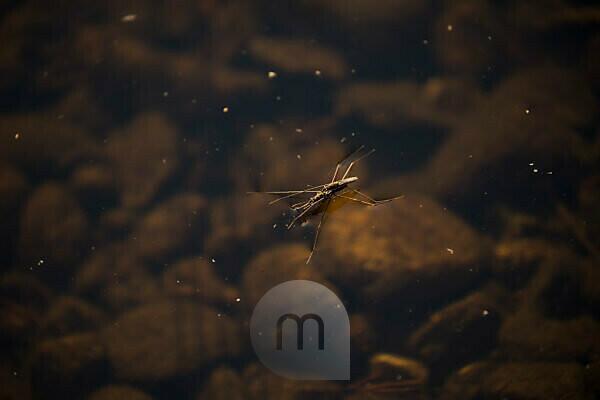 Water stider, Gerridae, walking on water