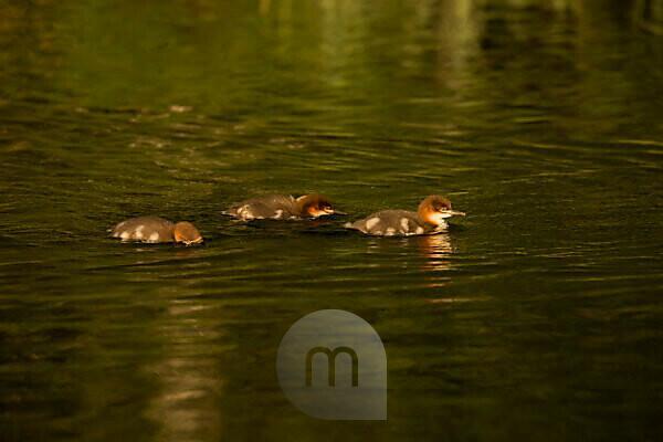 Mergus merganser chicks swimming, Finland