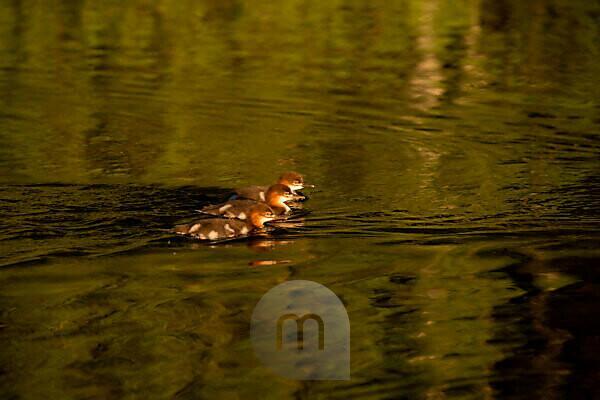 Mergus merganser chicks swimming together, Finland