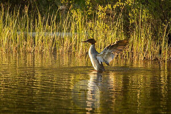 Mergus merganser spread it wings by the lake, summer evening, Finland