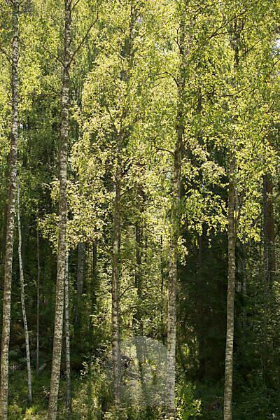Birch trees landscape, summer scenery, Finland
